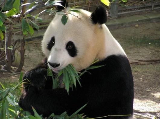 上野動物園 パンダ シャンシャン
