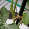 絹さやの育て方で必要な支柱の作り方のコツと栽培管理方法
